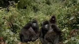 Wild Mountain Gorillas Documentary: Fighting to Survive!