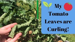 Why are my Tomato Leaves Curling? 🍅🌱