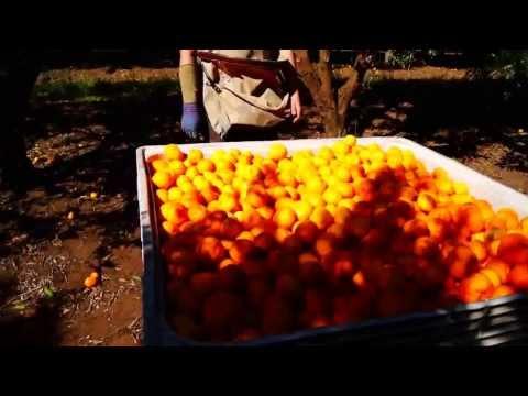 La cueillette des mandarines