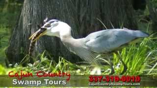 Cajun Country Swamp Tours tour clip