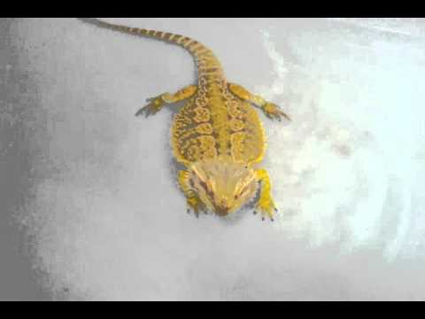Bearded Dragons For Sale | Atomic Lizard Ranch