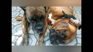 КИРА и БУЧ-СЛАДКАЯ ПАРОЧКА!Моя любимая порода собак-немецкий боксер.