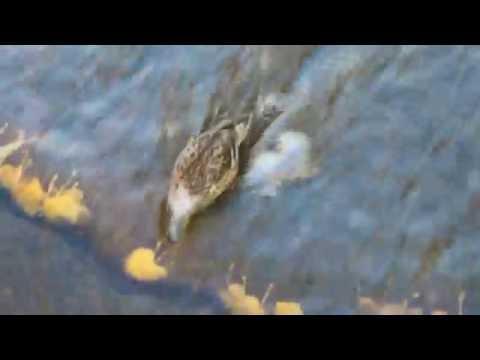 Un canard s'amuse au Parc des Rapides 15 octobre 2016