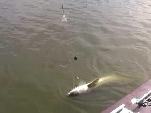 Delta Striper Sturgeon Catfish Action Sacramento River