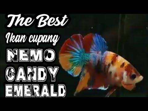 The Best Betta Ikan Cupang Nemo Candy Emerald Youtube