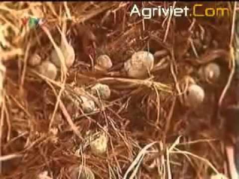Hướng dẫn kỹ thuật trồng nấm rơm trong nhà - 02
