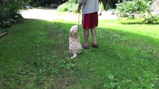 Trained Labradoodle Puppy - Charlie
