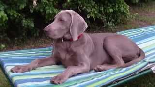 asimi 5 months old weimaraner likes to rest on a camp bed