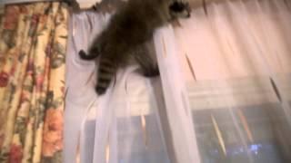 Енот-полоскун Кузя шкодничает (ржака! смотреть с 18 секунды)