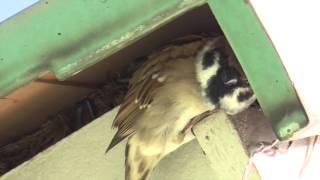 家に住みついたスズメ / Sparrow lives in the house