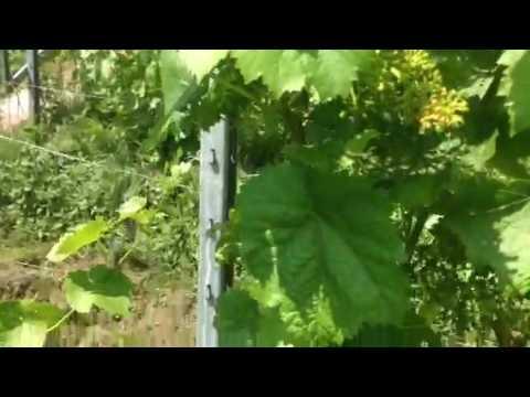 ТопСад. Виноград. Победа над антракнозом винограда!