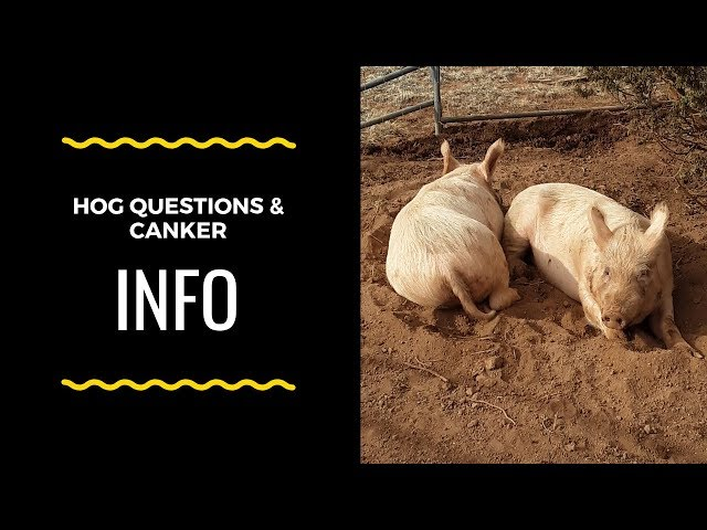 Hog questions and Canker Announcement
