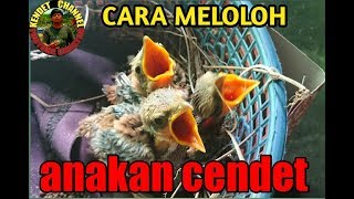 Formula Pakan Cendet lolohan..