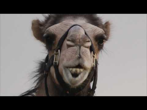 Camels have prehensile lips!