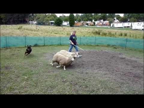 Rottweiler V/S  Doberman Dog  in Hindi   Dog spot Hindi  