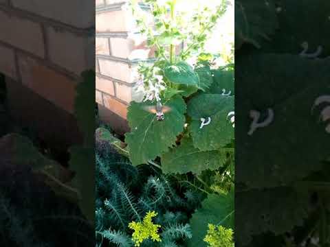 Что за Жук, муха, пчела, насекомое, шмель ?