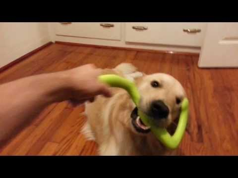 Dog Playing With & Chewing West Paw Design Bumi Toy - English Cream Golden Retriever