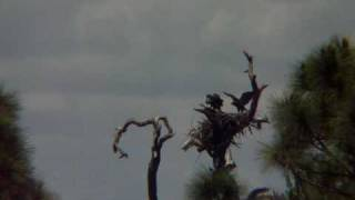 Baby Bald Eagles trying to fly