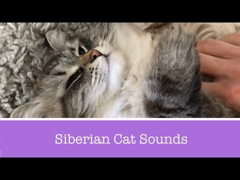 Siberian Cat Meowing, Talking, and Purring