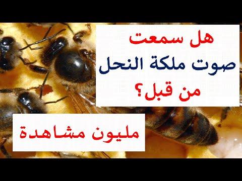 استمع إلى صوت ملكة النحل لأول مرة في حياتك