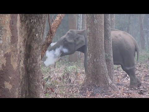 Have you ever seen a 'smoking' elephant?