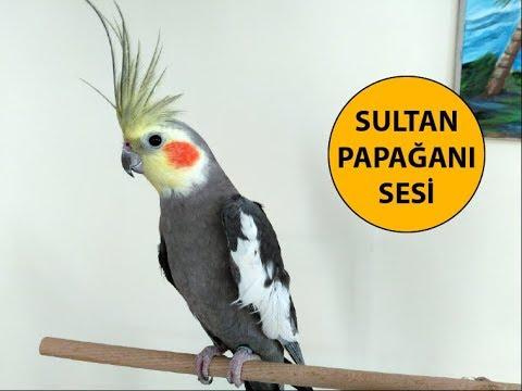 Волнистый попугай чирикает