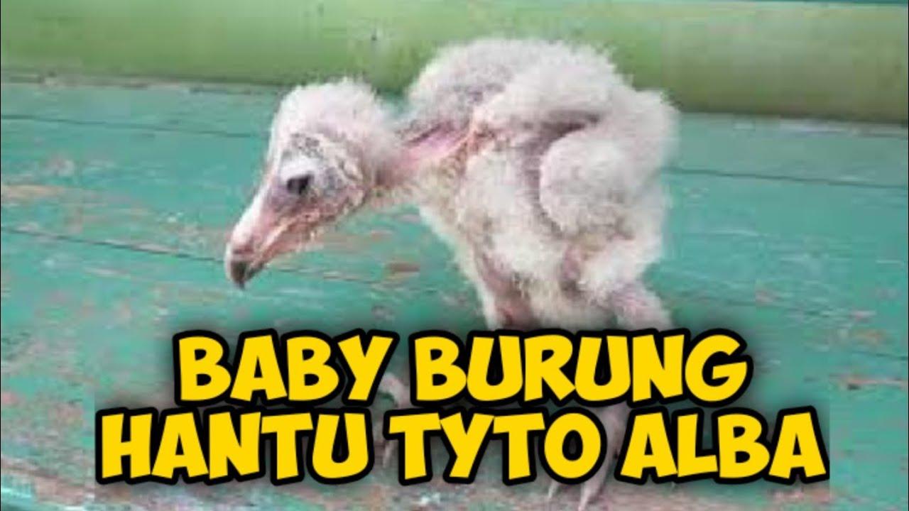 Baby Burung Hantu Tyto Alba Youtube