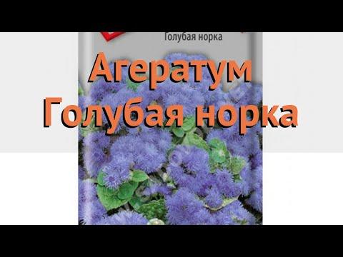 Агератум обыкновенная Голубая норка 🌿 обзор: как сажать, семена агератума Голубая норка