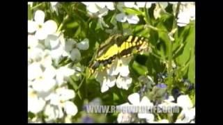 British Butterflies,Swallowtail etc.