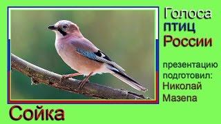 Сойка. Голоса птиц России