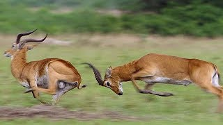 Kob Mating Ritual | The Great Rift: Africa's Wild Heart | BBC Earth
