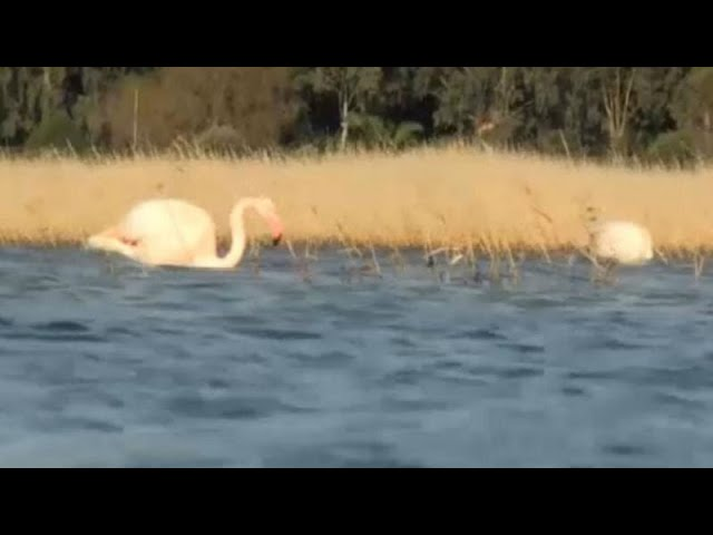 <span class='as_h2'><a href='https://webtv.eklogika.gr/omorfes-eikones-me-flamingko-sti-samo' target='_blank' title='Όμορφες εικόνες με φλαμίνγκο στη Σάμο'>Όμορφες εικόνες με φλαμίνγκο στη Σάμο</a></span>