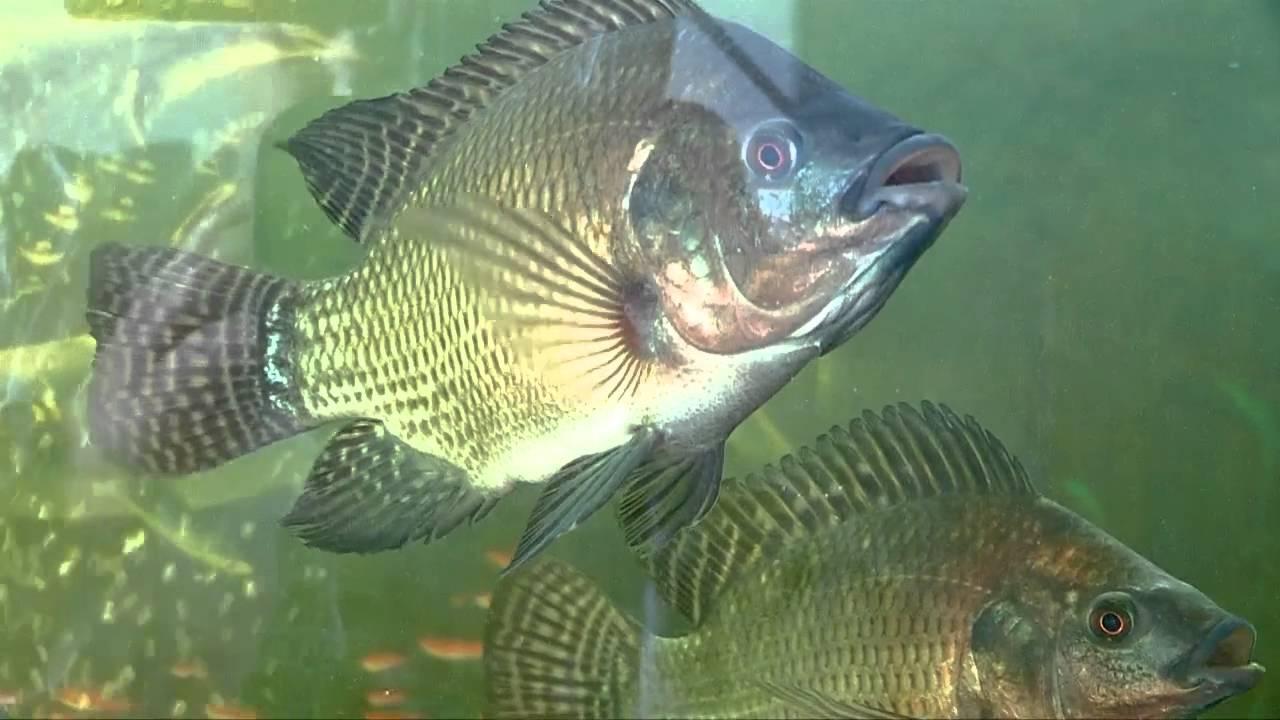 Тиляпия - что за...рыба!