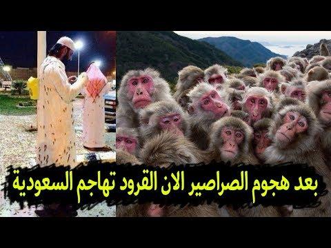 بعد هجوم الصراصير على الحرم المكي مئات القرود تبدأ بمهاجمة السعوديين فى الشوارع