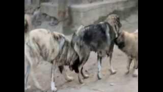 Молодые собаки питомника