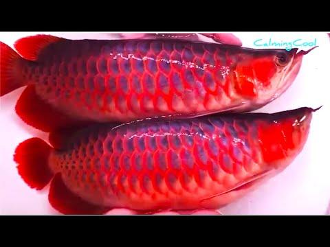 How is Asian Arowana Fish Exported to Other Countries? - Arowana Fish Export