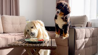 Leaving My Golden Retriever and Bernese Mountain Dog Puppy Alone with Food