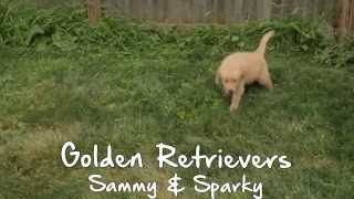 Puppies For Sale - Sammy / Sparky - Golden Retrievers