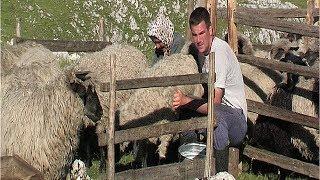 Muža ovaca kod Ševala na Vlašiću