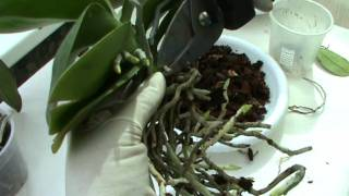видео Как я заставила цвести орхидею. Phalaenopsis