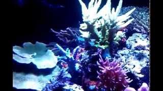 fbd sps reef