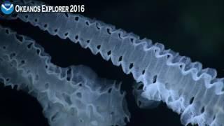 Okeanos Explorer Video Bite: A Beautiful Deep-Sea Creature