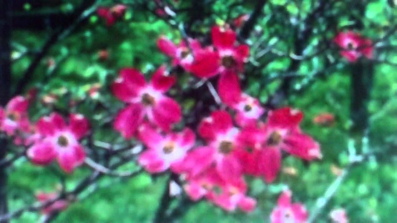 Pink Flowering Dogwood Trees For Sale 250 From Tn Tree Nursery
