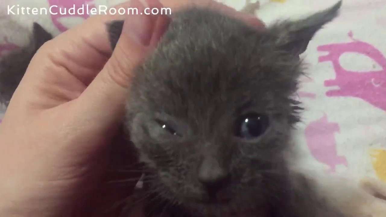 Orphaned Kitten was rescued & now likes to nurse on his foster moms shirt! SO Sweet!