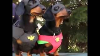 Batdog & Robin, To The Rescue!! Vine By: Crusoe Celebrity Dachshund