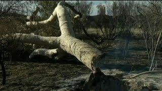 Australien trauert um abgebrannte Geister-Bäume