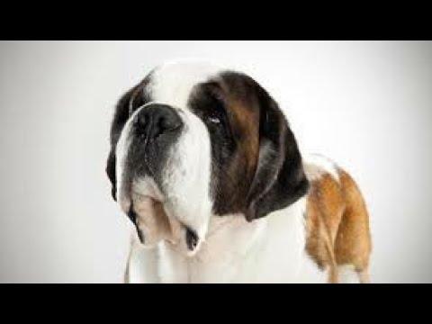 Saint Bernard 🐕 ... Deeg Bharatpur Rajasthan .. St. Bernard (Dog Breed),Jack,Dog (Domesticated)....