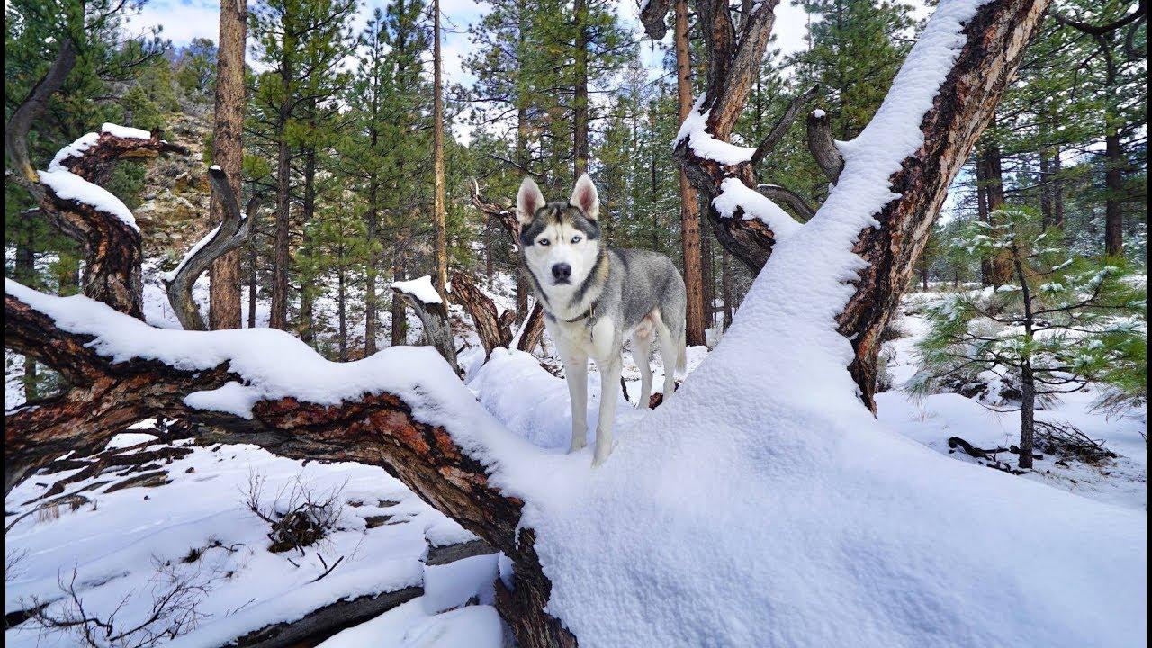 My Husky Runs Through the Snow Forrest!