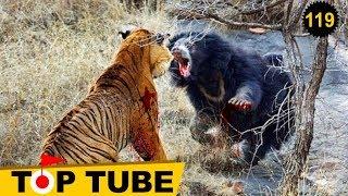 Hổ Siberia Đánh Nhau Với Gấu Con Nào Sẽ Thắng? Thế Giới Động Vật Hoang Dã [Top Tube 119]