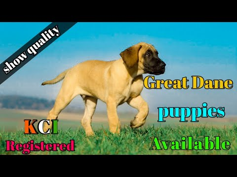 Great Dane Puppy For Sale   Kci Registered Great Dane Puppy For Sale   Great Dane Puppies  